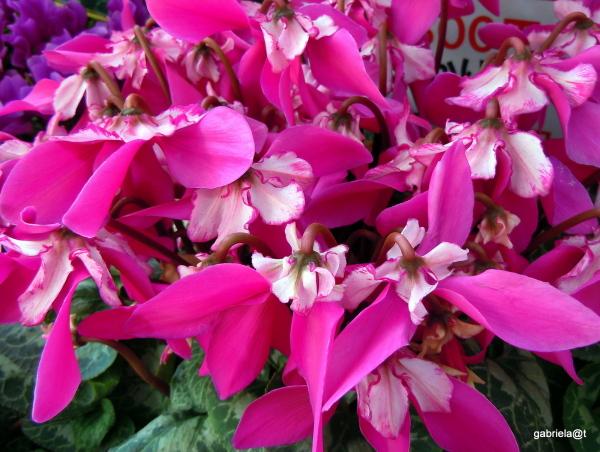 A pot of cyclamen looking like ribbons