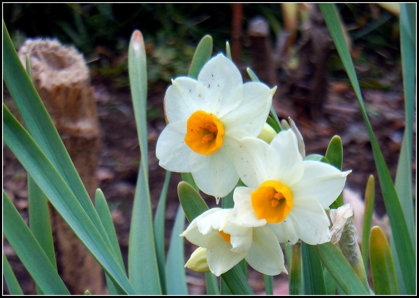 Daffodils show their curious faces