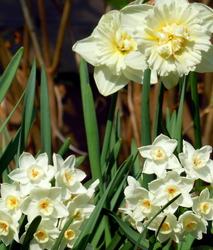 Narcissi and daffodils...