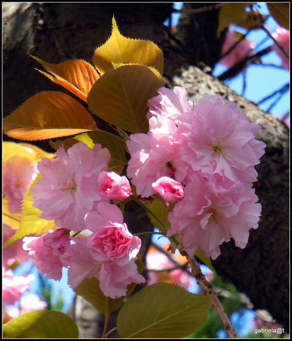 Kanzan cherry blossoms