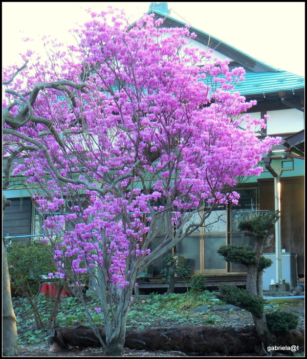 A tall azalea tree in our neighbourhood