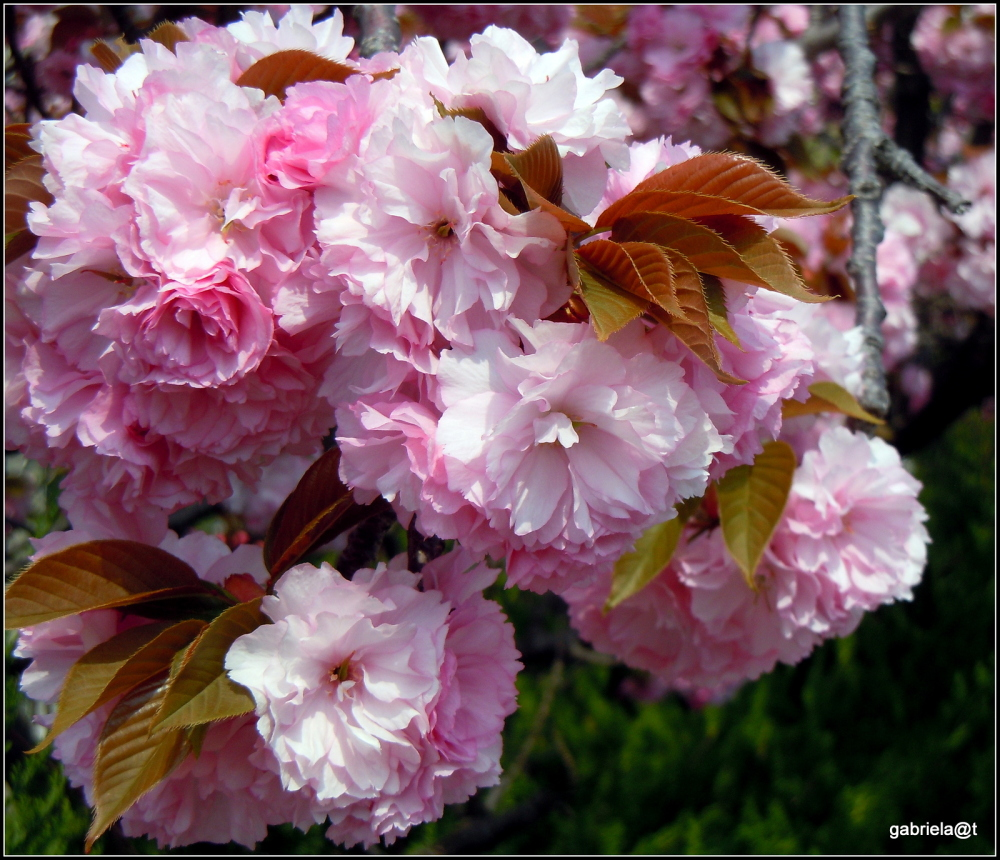 The last of the cherry blossoms (2)