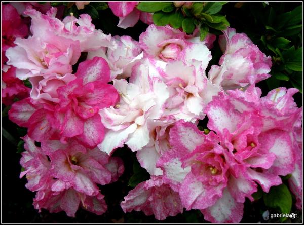 Garden azaleas show enthusiasm