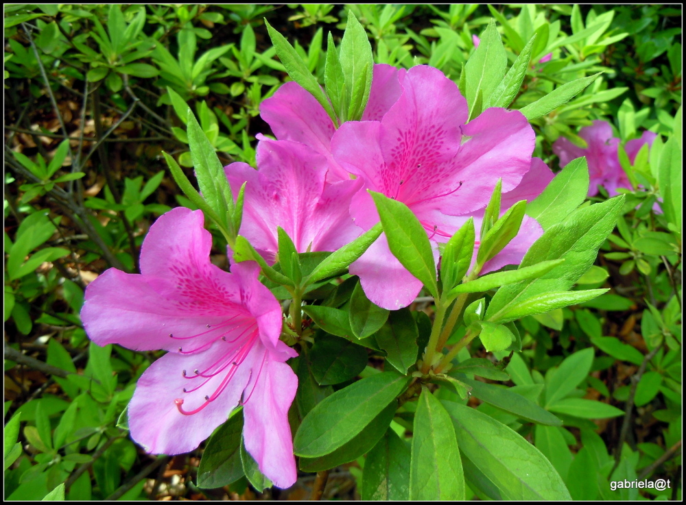 May is the time of azaleas