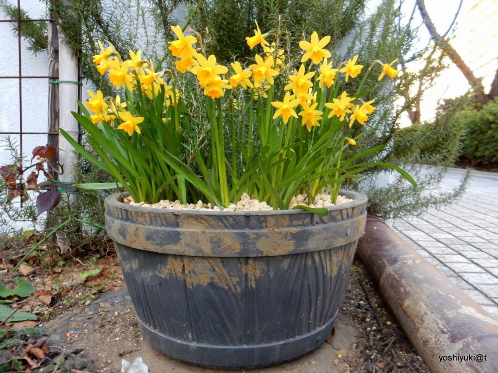 A bucket full of trumpet daffodils