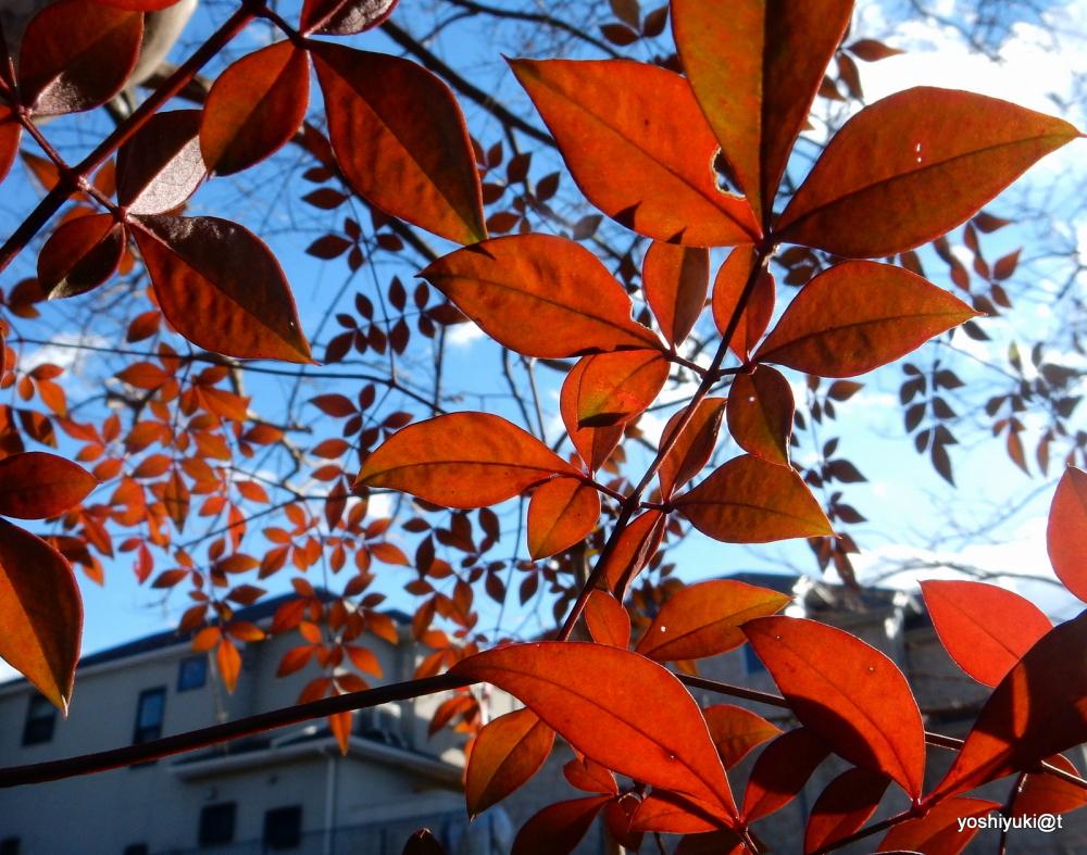 Sunlight on the red bush leaves