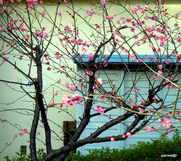 Japanese plum tree in bloom by the window