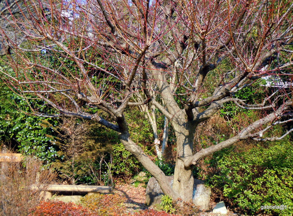 Japanese plum tree, branches with buds