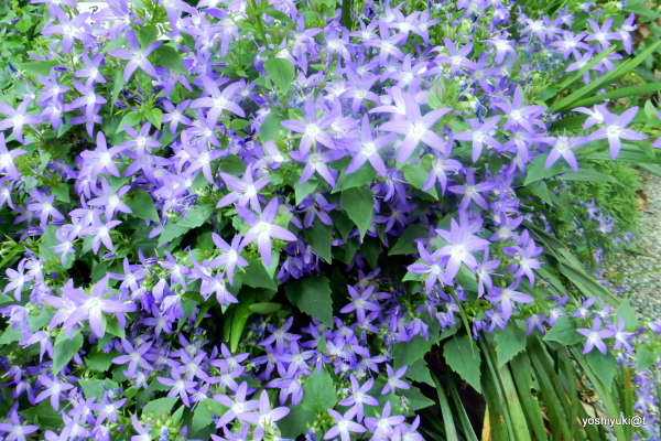 Blue stars in the garden