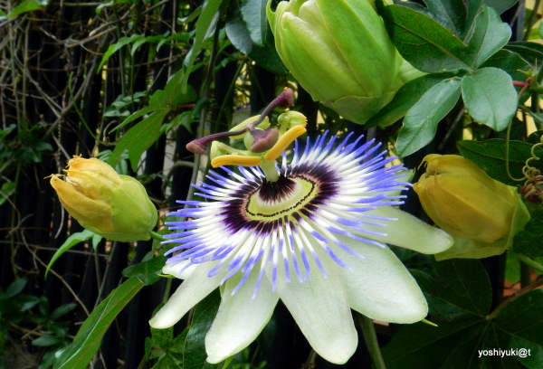 Passion flower family