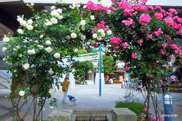 An arch of roses in our community