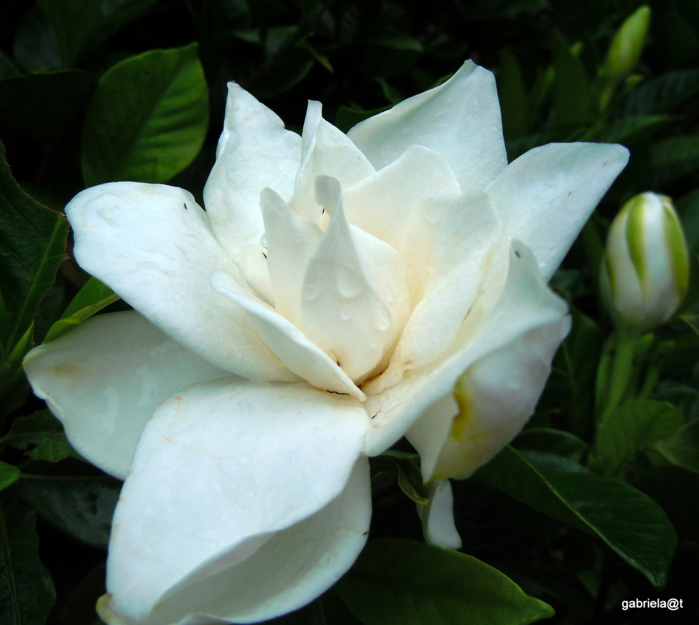 Gardenia with its perfume after the rains