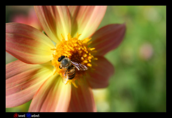 nature,plant,flower,bee,white,kiarash,mashoufi
