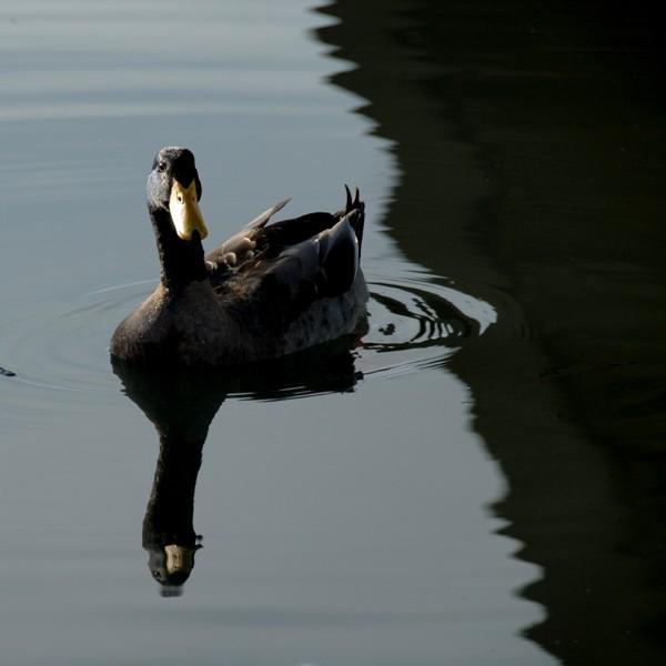 duck bethel island sacramento delta