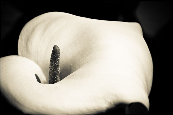 calla lily presidio san francisco california I