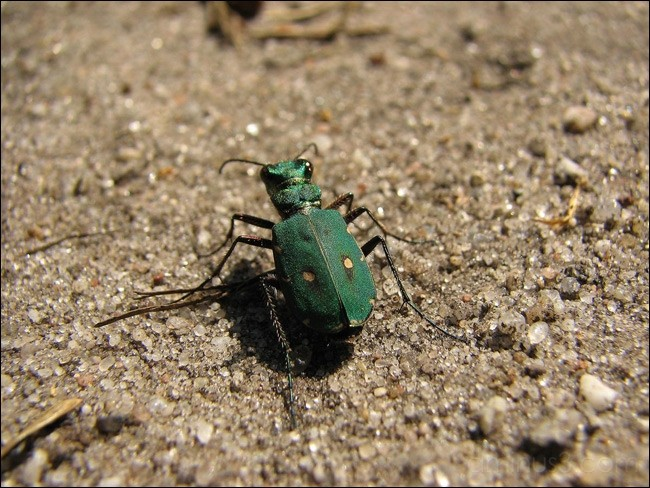 Groene Zandloopkever - CICINDELA CAMPESTRIS