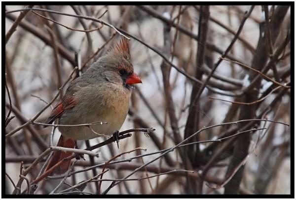 Female cardinal in a bush.