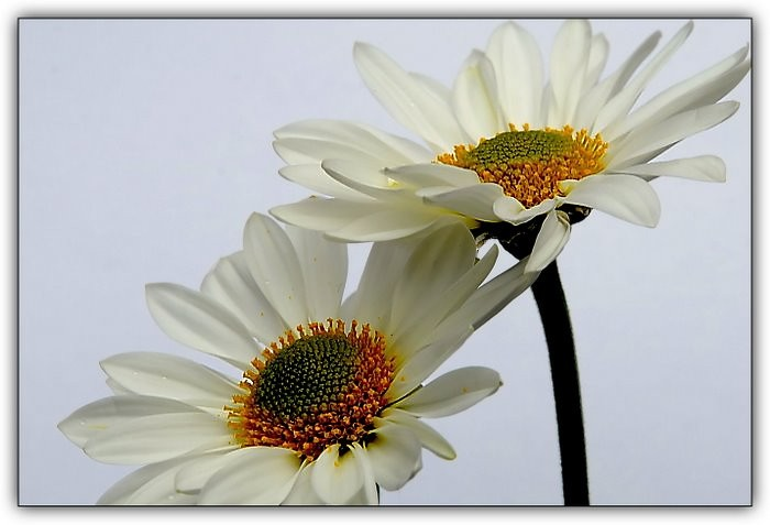 Daisies on White