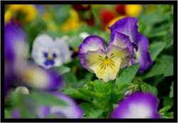 One Small Pansy...