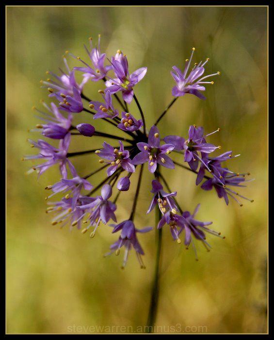 Violet Burst