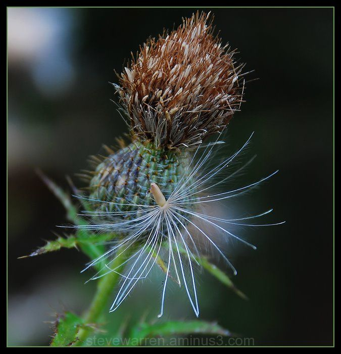 Thistle and seed.
