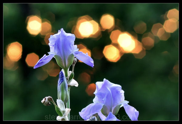 Iris and Sparkling Sun