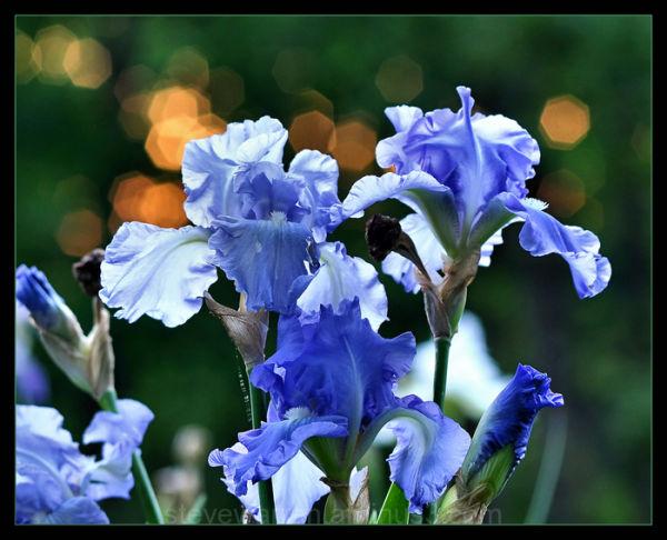 Iris and Sparkling Sun, lV