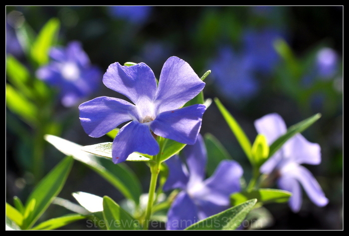 Periwinkle...s