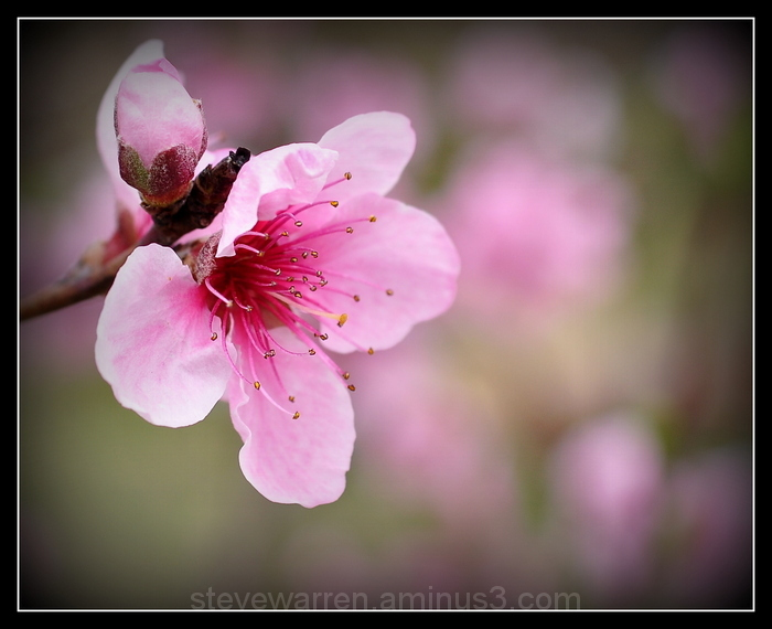 Cherry Tree Blossoms lll