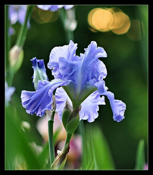 Evening Iris