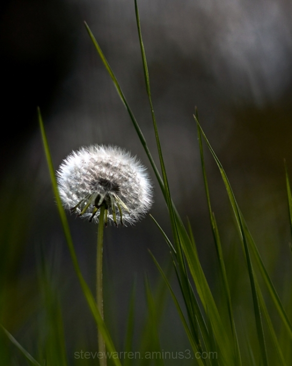 Dandelion and Grass