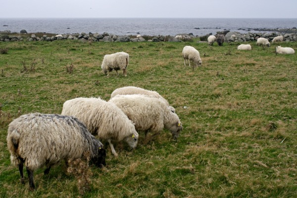 Sheep near the sea.