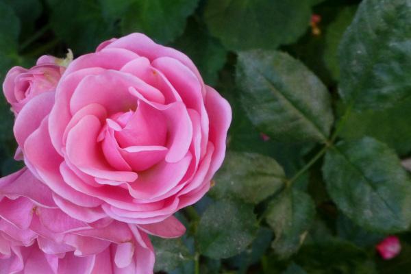 Roses.
