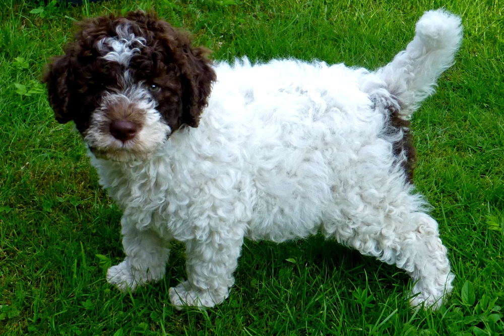A little Lagotto romagnolo.