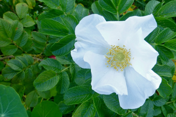 The Alba rose.