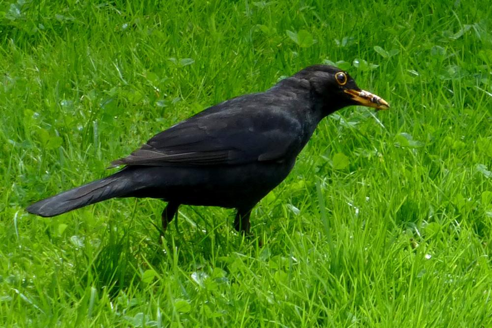 The national bird of Sweden - common blackbird.