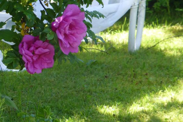 Rugosa rose.