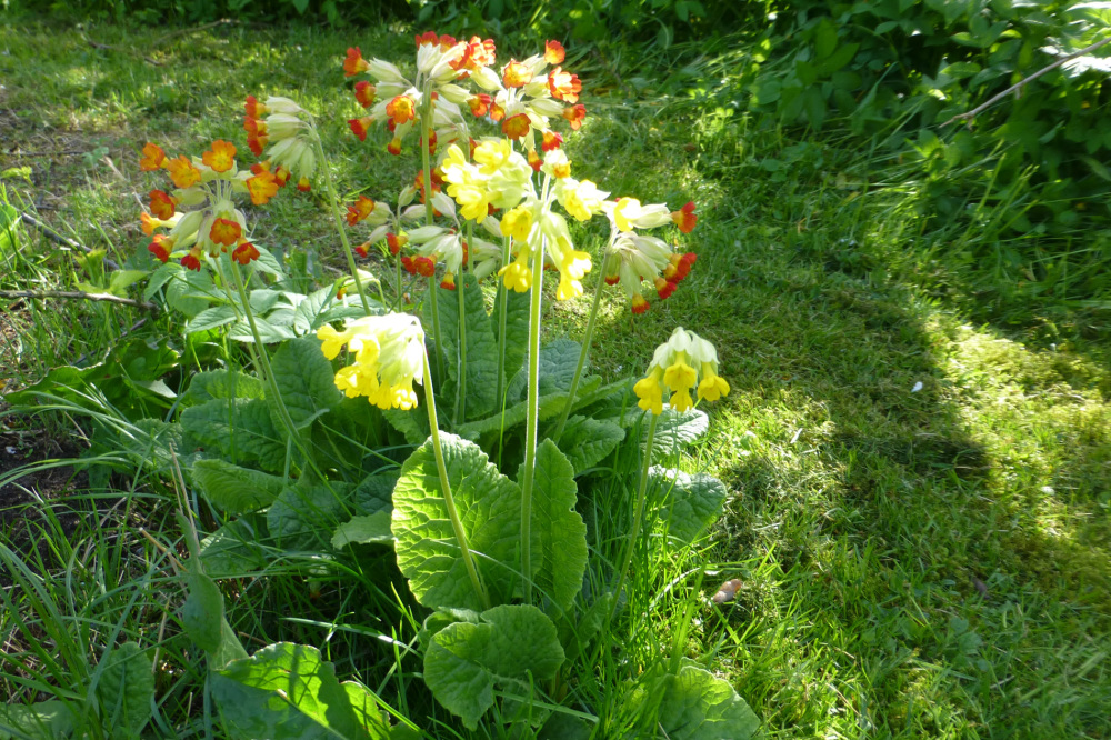 Cowslips.
