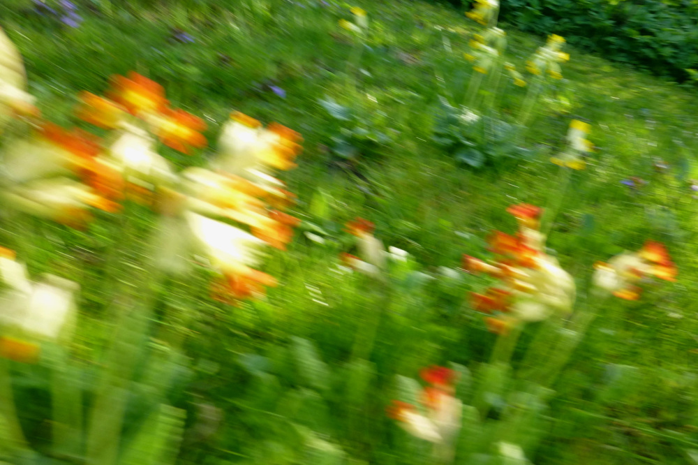 Cowslips in a hurry.