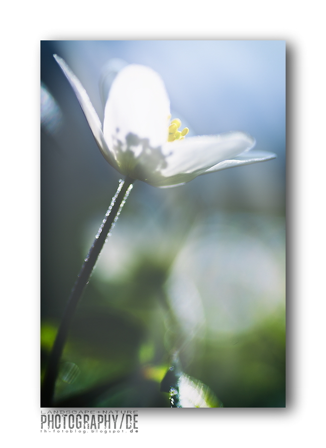 Buschwindröschen (Anemone nemorosa) I