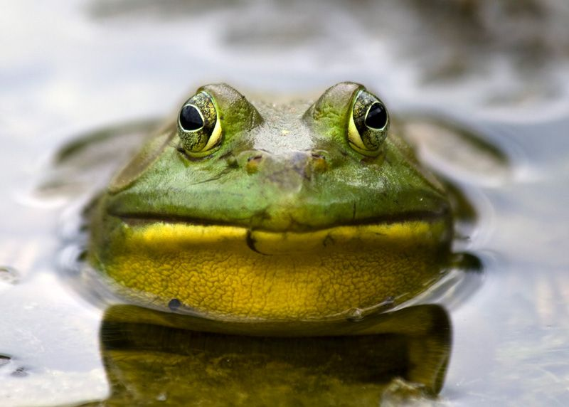 ouaouaron wawaron bullfrog