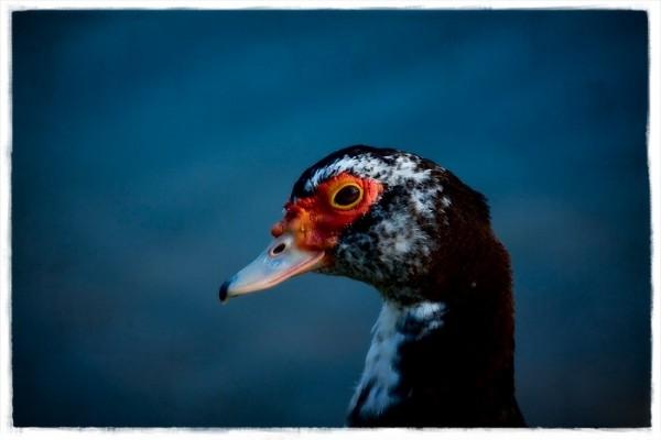 duck #3
