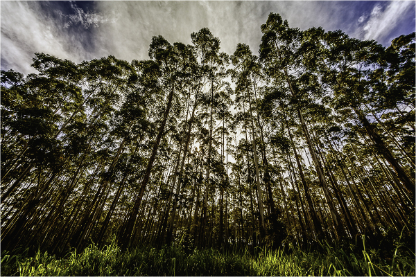 a stand of trees