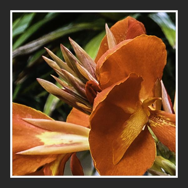 canna lilies II
