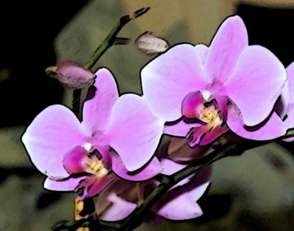 Orchid - Sumi
