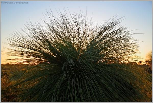 Australian Grass Tree