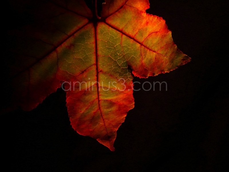 very colorful fall leaf