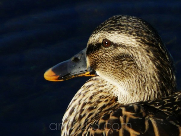 Duck closeup