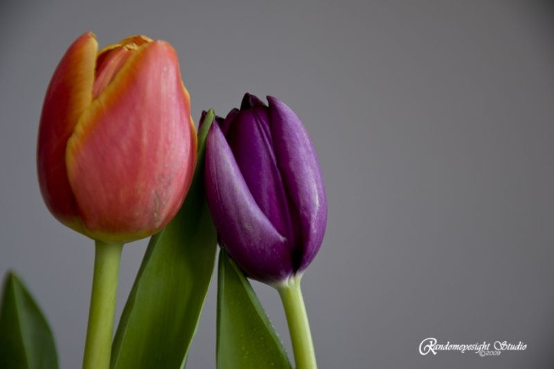 purple orange tulip