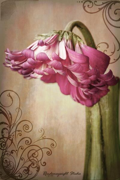 gerber daisy pink photoshop texture